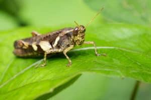 cricket resting on a green leaf