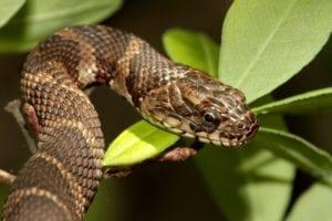 Snake climbing a tree